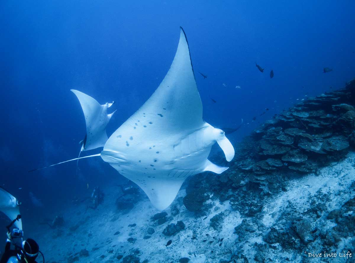 Maldives Deep South route - Diving with mantas, whale